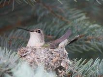 Calliope Hummingbird in nest. Calliope hummingbird nesting in blue spruce tree royalty free stock image