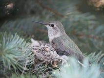 Calliope Hummingbird op nest stock afbeelding