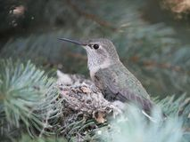 Calliope Hummingbird på rede fotografering för bildbyråer