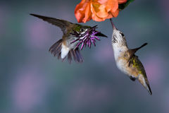 Calliope Hummingbirds stock photography