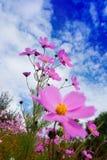 Calliopsis Royalty Free Stock Image
