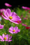 calliopsis Стоковые Фото