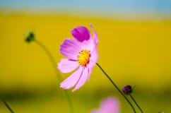 Calliopsis Stock Photo