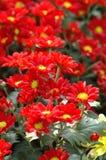 Calliopsis-Chrysantheme Lizenzfreie Stockfotografie