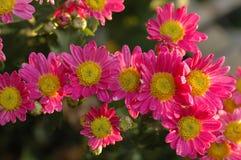 Calliopsis-Chrysanthemenshow Stockbilder