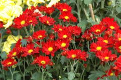 Calliopsis-Chrysanthemenshow Stockbilder