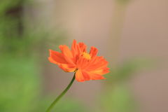 Calliopsis. Cosmos native to Mexico, after Columbus discovered the New World, European ladies gentlemen, was destined to see this lovely flower. The crew picked Royalty Free Stock Photos