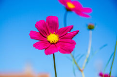 Calliopsis Stock Photography