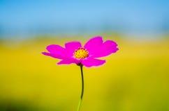 Calliopsis Royalty Free Stock Photo