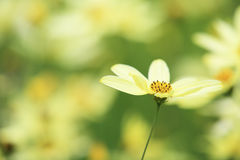 Calliopsis jaune Photo stock
