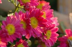 Calliopsis-krysantemum show Royaltyfri Fotografi
