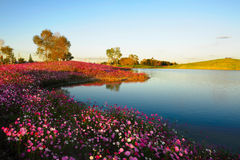 The Calliopsis by lake Stock Photos