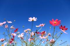Calliopsis onder de blauwe hemel Stock Afbeeldingen