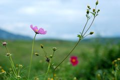 Calliopsis. In the open on the way to the Yunnan Dali cosmos Stock Photos