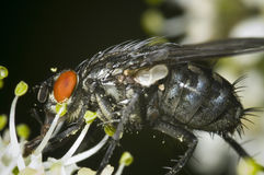 Calliphora with pollen Royalty Free Stock Photography