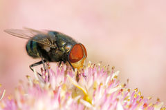Calliphora vicina stock photography