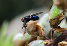 Calliphora vomitoria - bluebottle fly. Sunlight on Calliphora vomitoria - bluebottle fly Royalty Free Stock Images