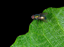 Calliphoridae aka blow fly, carrion fly, bluebottle, greenbottle. Beautiful to look at, shame about the habits! Thrives in unhygienic situations. Health risk Royalty Free Stock Images