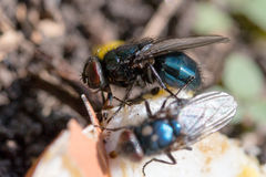 Calliphoridae eat  on the ground Royalty Free Stock Photography