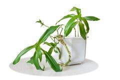callisia fragrans药用植物 免版税图库摄影