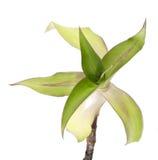 Callisia fragrans Obrazy Royalty Free