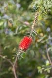 Callistemon в саде Стоковое фото RF