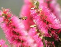 callistemon пчелы Стоковая Фотография