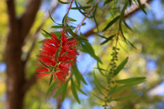 Callistemon. Blooming of red bottle-brush tree (Callistemon) flower Stock Photography