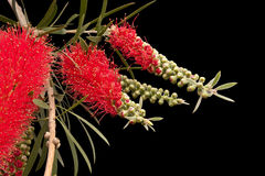 Callistemon in blooming isolated on black  background Stock Photo