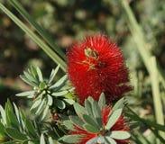 Callistemon blossom. Beautiful blossom of Australian plant Callistemon Stock Image