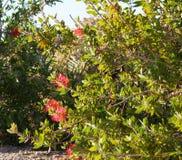 Callistemon blossom. Beautiful blossom of Australian plant Callistemon Royalty Free Stock Photo