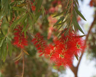 Callistemon blossom Stock Photos