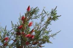 Callistemon blossom Royalty Free Stock Image