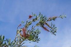 Callistemon blossom Stock Image