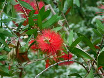 Callistemon blossoms. Red callistemon blossoms shooted in Pilsen Zoo, Czech Republic. The photo was taken on May 21 2017 Royalty Free Stock Image