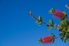 Callistemon in the blue sky Stock Photo