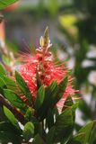 Callistemon or bottle brush flower. Close-up of red needle-like flower on the green shrub in yearly spring stock image