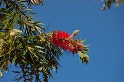 Callistemon Bottlebrush rojo en fondo del cielo Foto de archivo libre de regalías