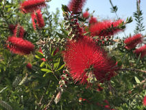 Callistemon bottlebrush tree Royalty Free Stock Images