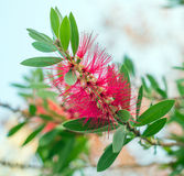 Callistemon. Callistemon or Bottlebrushes flower in the garden Royalty Free Stock Photo