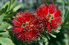 Callistemon (Bottlebrushträd) blommor Royaltyfria Bilder