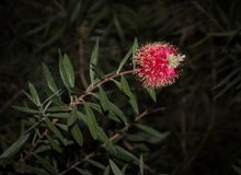 Callistemon. bright red - pink fluffy flower, subtropical plant.  Stock Photography