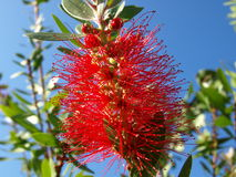 Callistemon Citrinus Royalty Free Stock Photos