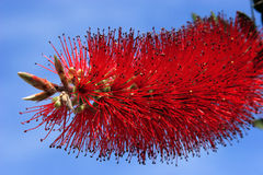 Callistemon citrinus Stock Photos