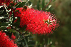 Callistemon citrinus Stock Photography