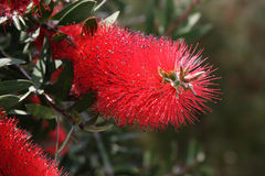 Callistemon citrinus Stock Images