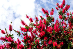 Callistemon citrinus on blue sky background Stock Photos