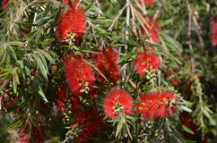 Callistemon citrinus Royalty Free Stock Image