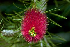 Callistemon citrinus, Crimson Bottlebrush Royalty Free Stock Photography