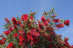 Callistemon Citrinus Flowering Shrub - Top Half - Crimson Red Bo Stock Image